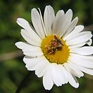 Mystery bug on Oxeye daisy by Ron Russell