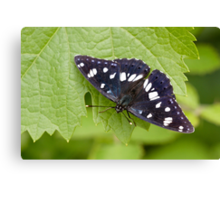 Southern White Admiral Canvas Print