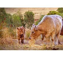 Mother and Daughter - Galloway Cows, Kanmantoo, Adelaide Hllls, SA Photographic Print