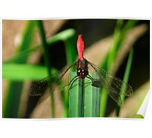 Ready For Takeoff - Australian Red Dragon Fly Poster