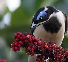 blue faced honey eater by Trish Threlfall