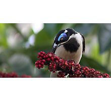 blue faced honey eater Photographic Print