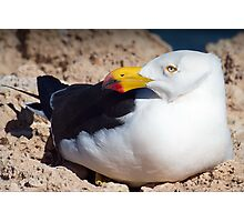 Pacific Gull Photographic Print