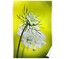 Queen Anne's Lace Flower Art Poster
