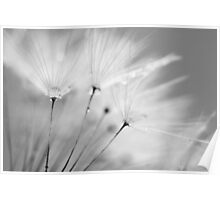 Black and White Dandelion with Water Droplets Poster