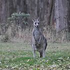 Eastern Grey Kangaroo by fiveacrewood