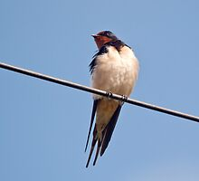 Swallow by M.S. Photography/Art