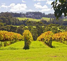 Ricketty Gate Vineyard by pennyswork
