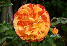 Orange and Yellow Rose by LoneAngel