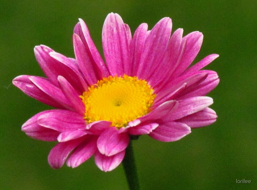The Painted Daisy by lorilee