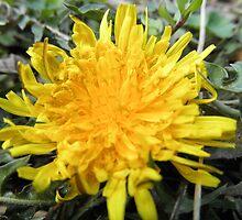 Dandelion by tak1002