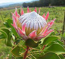 Protea cynaroides photographed on a farmroad in the Elgin Valley Western Cape by betty75