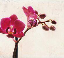 Mini Purple Phalaenopsis Orchid by photecstasy