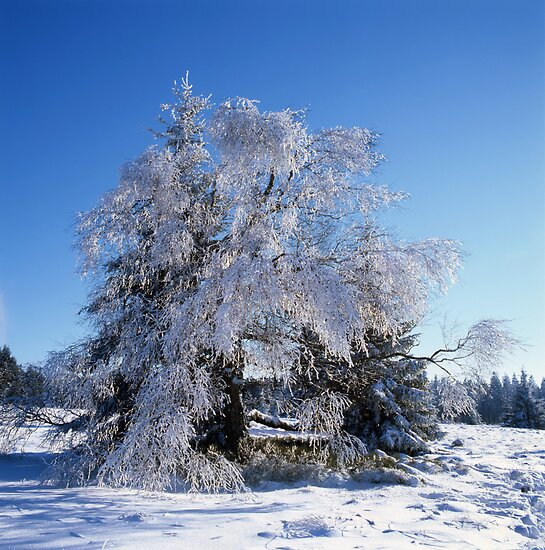 Hoarfrost covered birch tree by intensivelight