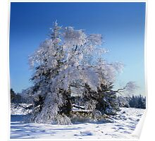 Hoarfrost covered birch tree Poster