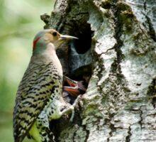 Northern Flicker Nest Sticker