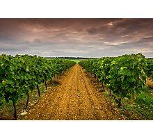 Cognac Vineyard Photographic Print
