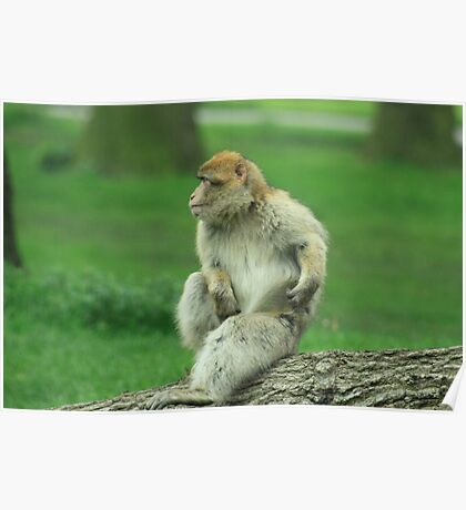 scratching monkey Poster