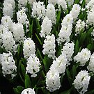 Heavenly Hyacinths - Keukenhof Gardens by BlueMoonRose