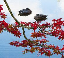 black ducks by Anne Scantlebury