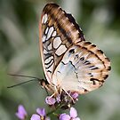 Exotic Butterfly on Resting on Flower by melmoth