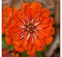 Orange Zinnia Photographic Print