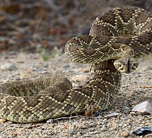 Mohave Green Diamondback Rattlesnake Ready and Willing by Bob Christopher