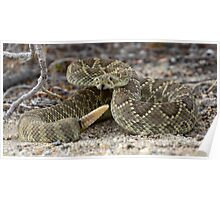 Mohave Green Rattlesnake Coiled and Ready Poster