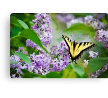 Swallowtail Butterfly on Lilacs Canvas Print