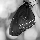 Spotted Butterfly in Black and White by melmoth