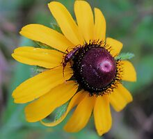 Texas Wildflower - Black-eyed Susan and Friend - need ID on insect by aprilann