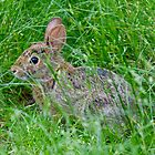 Nature photo of rabbit by crazylemur