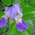 Singular Iris by Lynda Lehmann
