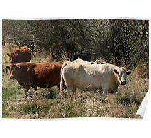 Alberta Dairy Cows Poster
