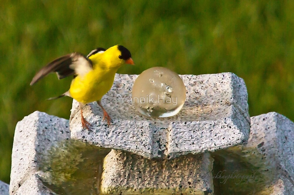 I'm Better Now (American Goldfinch) by Yannik Hay