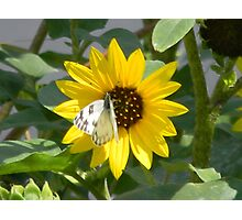 Sunflower and Sunflower Seed Head Photographic Print