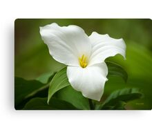 White Trillium Wildflower Art Canvas Print
