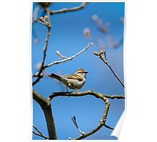 Chipping Sparrow in a Tree Poster