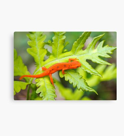 Red Eft Eastern Newt Canvas Print