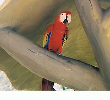 Red Parrot by Veronica Jackson
