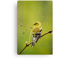 American Goldfinch in the Rain Canvas Print