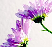 Two Daisies by George Lenz