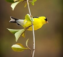 American Goldfinch Art Painting by Christina Rollo