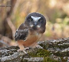 Saw-whet Owlet Portrait by Trish Sweett