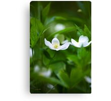 Canada Anemone Wildflowers  Canvas Print
