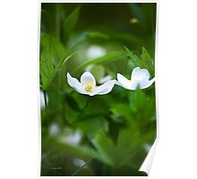 Canada Anemone Wildflowers  Poster