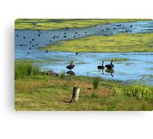 Swans and Ducks Canvas Print