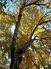 Autumn Canopy by DarthIndy