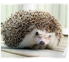 African pigmy hedgehog outdoors Poster
