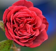 Red Rose by David Wanden